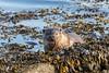 Otter (Mainland, Shetland) (Renate van den Boom) Tags: 05mei 2018 europa grootbrittannië jaar maand mainland otter renatevandenboom shetland zoogdieren