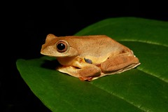 Twin-spotted Flying Froglet (Rhacophorus bipunctatus, Rhacophoridae) (John Horstman (itchydogimages, SINOBUG)) Tags: frog amphibian animal china yunnan itchydogimages herpetology rhacophoridae topf25