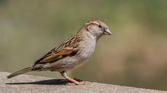 House sparrow female (explored 05/11/2018) (Lynn Tweedie) Tags: 7dmarkii bokeh tail ef400mm56usm beak missouri canon eye bird feathers colorful green eos housesparrow ngc animal