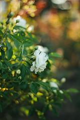 White roses (Inka56) Tags: smileonsaturday catchthebokeh roses white whiteroses leaves green bokeh bokehlicious garden bokehpainting