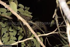 41248 Common Palm Civet (Paradoxurus hermaphroditus) juveniles in a tree at night, Kuala Selangor Nature Park, Selangor, Malaysia. IUCN=Least Concern. (K Fletcher & D Baylis) Tags: fauna mammal wildlife viverridae civet civetcat commonpalmcivet asianpalmcivet paradoxurushermaphroditus night nocturnal leastconcern kualaselangornaturepark selangor malaysia asia april2018