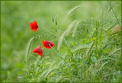 la dolcezza di un giorno di pioggia (adrianaaprati) Tags: papaveri spighe may spring poppies flowers drops water rain colors green red lawn grasses ears park