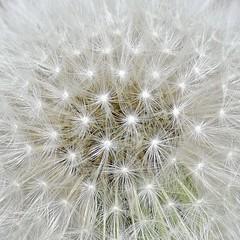 Dandelion Seed Head (MJ Harbey) Tags: macro flower seedhead dandelion dandelionseedhead weed taraxacum asteraceae nikon d3300 nikond3300