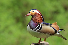 Mandarin Duck (robin denton) Tags: aixgalericulata mandarinduck mandarin duck waterbird adeldam yorkshirewildlifetrust yorkshire wildlifetrust wildlife nature