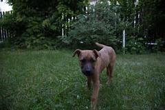 Bibi0516-2102 (adam.leaf) Tags: canon 6d 24105l leafling forest dog