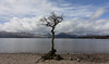 The Lonely Tree at Loch Lomond, SCotland (Sandra L Ekins) Tags: thelonelytree lochlomond trossachspark scotland water mountainside millarochybay