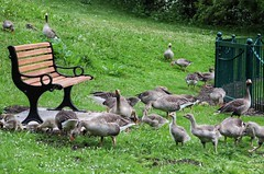 Meeting area, for the geese and ducklings! ❤😁 (LeanneHall3 :-)) Tags: geese ducklings birds nature wildlife grey feathers white green grass bench eastpark hull kingstonuponhull landscape canon 1300d