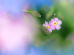 There is no way I can forget you, actually I found you... (Tomo M) Tags: forgetmenot flower macro bokeh blur nature spring 横浜イングリッシュガーデン tamron 勿忘草 dreamy soft pastel