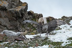 Petreles- Familia (robertopastor) Tags: antarctica antarctique antarktika antartic antártida expedición fuji hannahpoint robertopastor southshetlandislands viaje walkerbay xt2 xf14xtc xf100400 aq