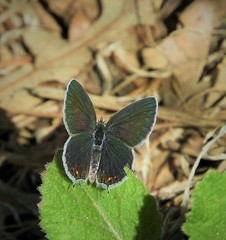 Western Tailed-Blue Butterfly (female). (Ruby 2417) Tags: tailed blue butterfly female brown rainbow insect bug wildlife nature davis putah iridescent