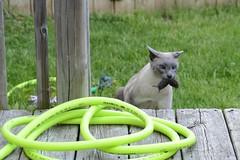 Milo Catches A Vole (appaIoosa) Tags: ©appaloosa® ©appaloosa cat chat gato siamesecat catandmouse vole shrew catcapturesmouse
