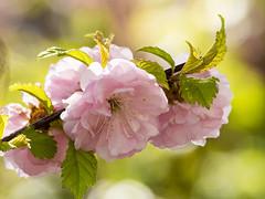 160421-0126 _Helle_SOOC_PS_ (Pixel-Cat) Tags: kirsche kirschblüte cherry cherryblossom blossom blüte baum tree plant pflanze spring frühling macro makro hellersdorf berlin olympus omd em5 mzuiko75300mmf4867ii