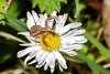Will you walk into my parlour? (Eskling) Tags: crabspider spider xysticus cristatus fly prey predator daisy raynox dcr150 dcr 150 flower