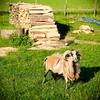 05210014 (dirk hinz) Tags: billygoat dh dirk dirkhinz goat gras grass hinz meadow rasen wiese ziegenbock