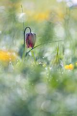Fritillaire pintade - Fritillaria meleagris (PatNik01) Tags: france fritillairepintade fritillariameleagris bugey fleur rosée nikon