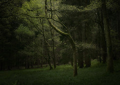 The Lonely Tree (michaelbeecham) Tags: woodlandtrust woodland woods forestrycommission forests trees greenspaces lightanddark naturephotography landscapephotography fujix100f