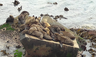 Hermanus, the seals in the old harbour