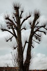 Bushy Tree 1 (Poul_Werner) Tags: aarhus danmark denmark himmel sky tree træ centraldenmarkregion dk