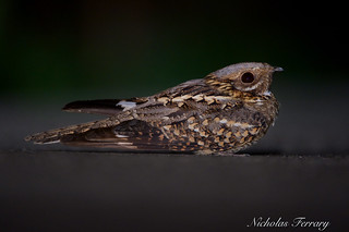 Red Necked Nightjar