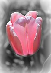 Sherwood Gardens ~ praising pink & Earth Day (karma (Karen)) Tags: baltimore maryland sherwoodgardens parks gardens flowers tulips dof bokeh selectcolor picmonkey hss hed earthday cmwd