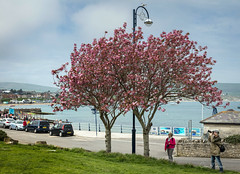 Seaside Blossom (clive_metcalfe) Tags: blossom swanage dorset uk seaside sea water beach town photographer spring cloudy