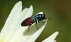 9818 Anthaxia scutellaris (jon. moore) Tags: anthaxiascutellaris buprestidae jewelbeetle coleoptera portugal algarve malhadadesantamaria
