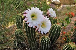 Argentine giant cactus blooms