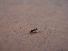 Fourmi (Benzaiten31) Tags: fourmi insecte macro