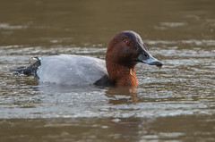 Pochard (Tim Melling) Tags: aythya ferina pochard male drake west yorkshire water droplets timmelling
