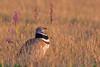 Outarde... (kookaburra 81) Tags: oiseau hérault outardecanepetière littlebustard otididés otidiformes tetraxtetrax bird