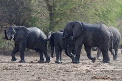 African Bush Elephant, Éléphant de savane (Loxodonta africana) - Zakouma National Park, CHAD (brun@x - Africa: birds & more) Tags: 2018 bruno portier brunoportier tchad chad zakouma national park zakoumanationalpark mammifères wild wildlife african africa afrique big5 éléphant africanbushelephant bush savanna savane éléphantdesavane éléphantidés elephantidae proboscidea pachydermes