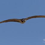 Female Osprey returning to the nest thumbnail
