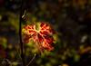 Autumn in the vineyards (chrys goote) Tags: heldervue somersetwest vineleaves vineyards