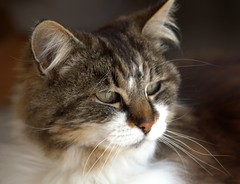 Minette de Tonneins (chriskatsie) Tags: chat kat garonne val tonneins gentillesse kindness douceur soft pleasure plaisir