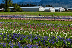 Tulips of the Valley Festival (Hyacinths) (SonjaPetersonPh♡tography) Tags: tulipfestival tulipsofthevalleyfestival tulipsofthevalley chilliwack britishcolumbia bc fraservalley tulips daffodils landscape mountainlandscape tulipfields flowers gardens plants mountains scenery scenic blooms festival canada nikon nikond5300 fields