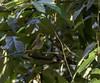 20180407-0I7A9770 (siddharthx) Tags: achampet bird birdwatching birdsofindia birdsoftelangana canon canon7dmkii closerange dawn dawnsunriseumamaheshwaram ef100400f4556isii goldenhour portraiture sunrise telangana umamaheshwaramtemple umamaheshwaram india in yellowthroatedbulbul bulbul tree leaf wood sky forest