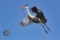 H.E.R.O.N (SG Objectif) Tags: animal cendre heron pdg22 vol bird nature wild sauvage 7d2 canon 150600mm sigma fly sky ciel