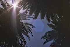 palm tree sun glare (samson ballard) Tags: sun palm trees film love travel old glare melbourne australia victoria kodak overtop leafs midday