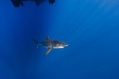 Cruising (George Probst) Tags: shark greatwhiteshark tiburon requin underwater mexico diving blue