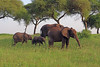 Elephant Herd (ashockenberry) Tags: elephants elephant pachyderm tanzania tourism travel trunk ivory nature naturephotography national park habitat game reserve wildlife natural outdoor wildlifephotography wild wilderness herbivore safari savanna tarangire herd baby family beautiful majestic africa