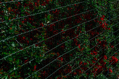 breakthrough in red (e-box 65) Tags: red fence flower green spring blossom garden nikon d7200 18 105
