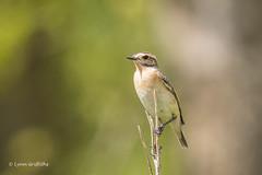 Whinchat 500_9730.jpg (Mobile Lynn) Tags: whinchat birds nature bird fauna saxicolarubetra wildlife thursley england unitedkingdom gb