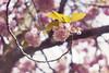 Blossom Swirl (City of Blackbirds) Tags: cherry blossom flowers pink helios bokeh helios442 spring