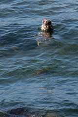 Coming up for Air (charlottes flowers) Tags: harborseal pacificgroveca montereybay