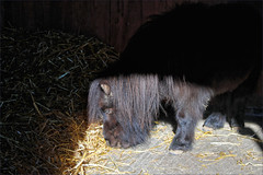 Bear, Miniature Shetland (meniscuslens) Tags: horse trust miniature shetland pony stable hay charity rescue princes risborough high wycombe aylesbury buckinghamshire