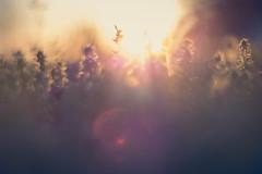 Yard weeds (Sarah Rausch) Tags: yard weeds yardweeds nature grass oldfarmland sunset flare lensflare light backlit 50mm 18 depth