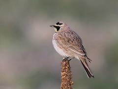 Horned Lark (fethers1) Tags: rockymountainarsenalnwr rmanwr rmanwrwildlife coloradowildlife bird hornedlark
