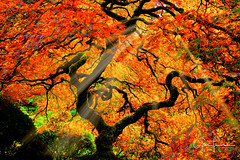 Tree Of Light (Thüncher Photography) Tags: sony a7r sonya7r zeissfe35mmf28za fx fullframe scenic landscape autumn fallcolors japanesemaple japanesegardens portland oregon pacificnorthwest