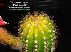 Trichocereus hybrid 'Pina Colada' (pic #5 stem growth apex detailed) (mattslandscape) Tags: pina colada trichocereus piña echinopsis klaus peter mügge mugge hybrid hybride hybridizer flower floweringcactus flowers flickrechinopsisbloomgroup bloom blooms bloomingcactus bloompictures cactus cactusblooms cacti cactusflowers cactiblooms mex 5701 570 1
