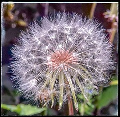 Blow and make a wish! (Babethaude) Tags: dandelion wishes bokeh closeup flower nature spring